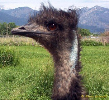 Emu - Headshot || Wild Rose Emu Ranch